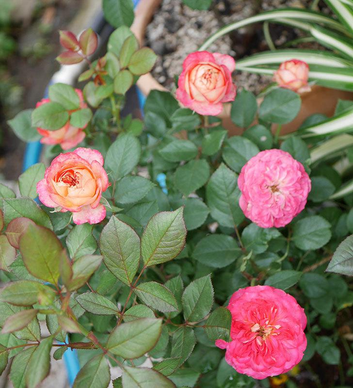ソレイユロマンティカ(ツルバラ)の花が増えて来た。2019年-3.jpg