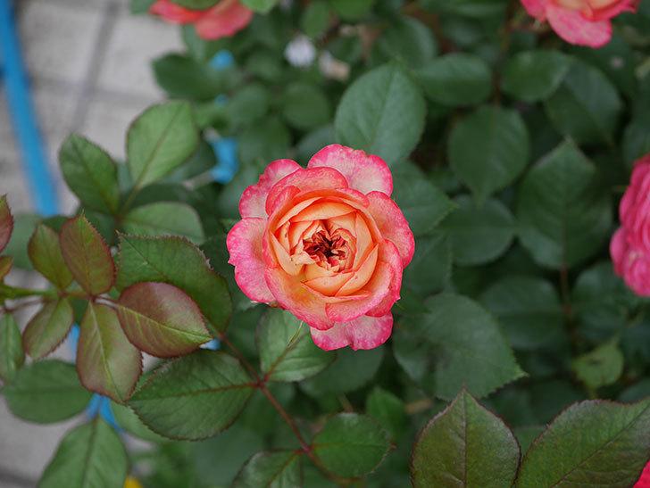 ソレイユロマンティカ(ツルバラ)の花が増えて来た。2019年-4.jpg