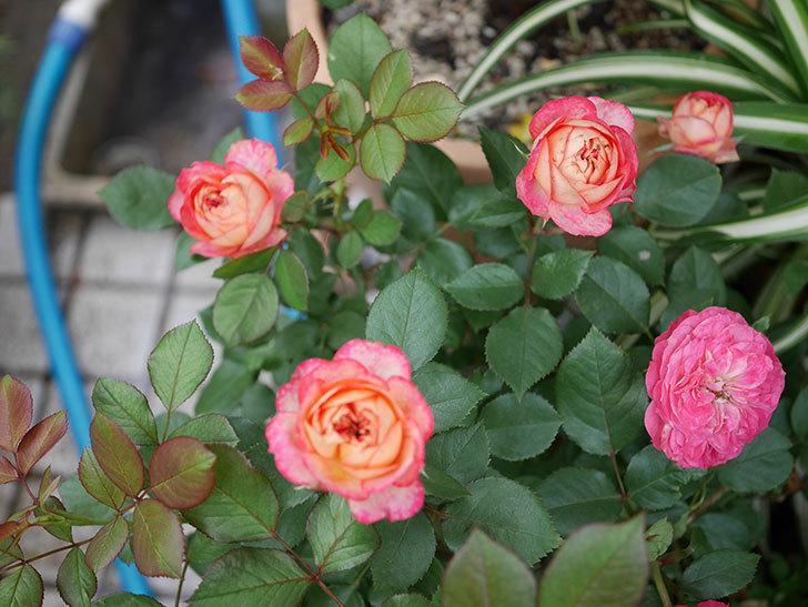 ソレイユロマンティカ(ツルバラ)の花が増えて来た。2019年-8.jpg