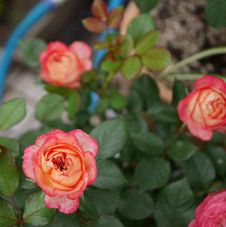 ソレイユロマンティカ(ツルバラ)の花が増えて来た。2019年-9.jpg