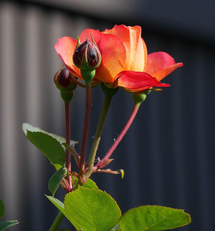 ソレイユロマンティカ(ツルバラ)の花が少し咲いた。2020年-1.jpg