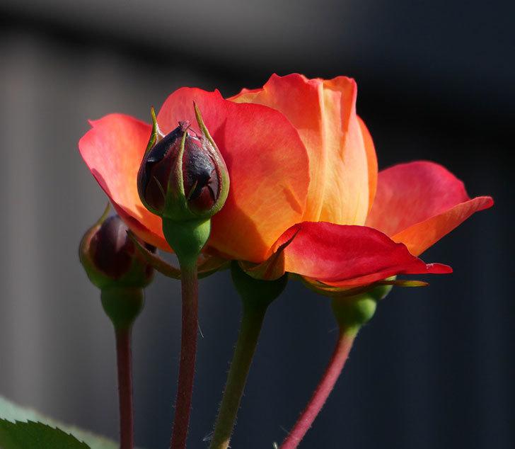 ソレイユロマンティカ(ツルバラ)の花が少し咲いた。2020年-2.jpg