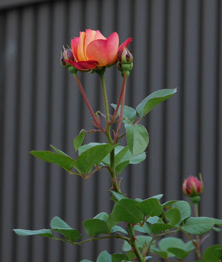 ソレイユロマンティカ(ツルバラ)の花が少し咲いた。2020年-3.jpg