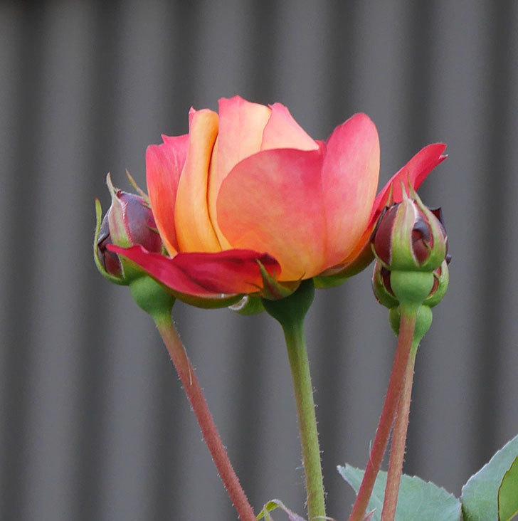 ソレイユロマンティカ(ツルバラ)の花が少し咲いた。2020年-4.jpg