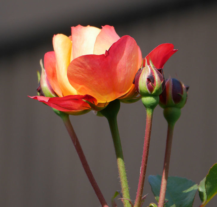 ソレイユロマンティカ(ツルバラ)の花が少し咲いた。2020年-5.jpg