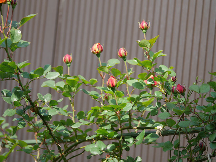 ソレイユロマンティカ(ツルバラ)の花が少し咲いた。2020年-6.jpg