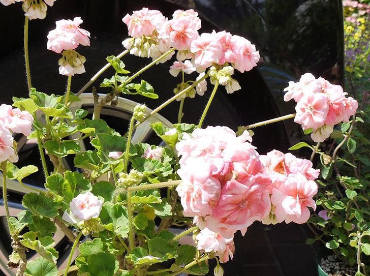 ゾナル・ゼラニウムの花が咲いた。2016年-1.jpg