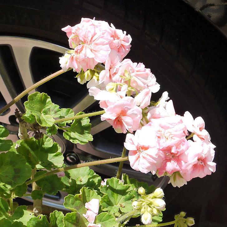 ゾナル・ゼラニウムの花が咲いた。2016年-4.jpg