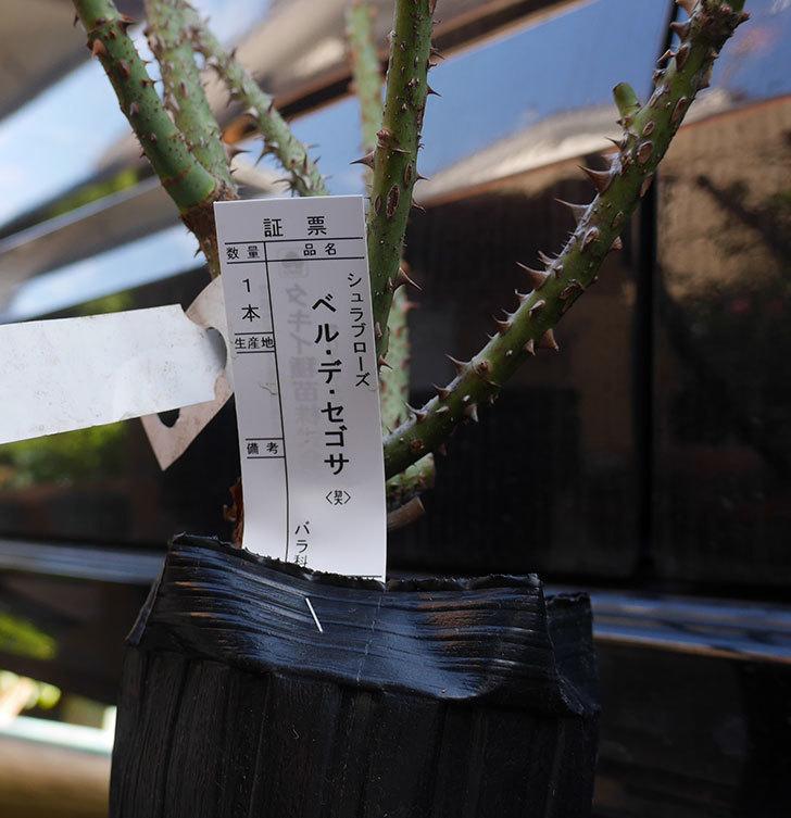 タキイに予約していたベル・デ・セゴサ(半ツルバラ)の大苗が届いた。2019年-5.jpg