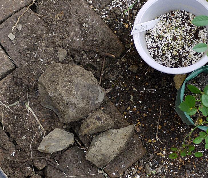 タマリュウ(玉竜)とミニスイセンを地植えした。2017年-4.jpg