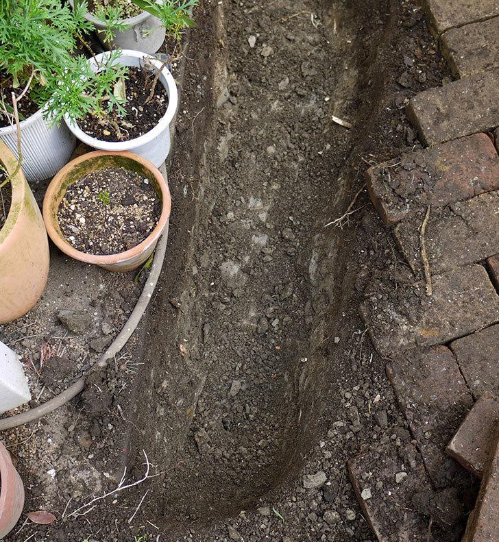 タマリュウ(玉竜)とミニスイセンを地植えした。2017年-5.jpg