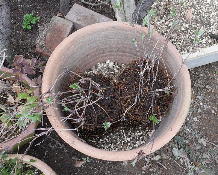 ダッチェス・オブ・エジンバラ2株を同じ鉢に植え換えた。2020年-1.jpg