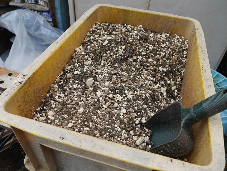 ダッチェス・オブ・エジンバラ2株を同じ鉢に植え換えた。2020年-10.jpg