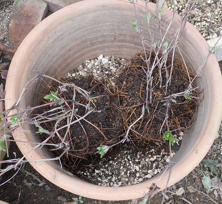 ダッチェス・オブ・エジンバラ2株を同じ鉢に植え換えた。2020年-11.jpg