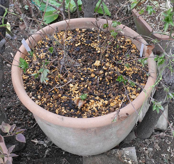 ダッチェス・オブ・エジンバラ2株を同じ鉢に植え換えた。2020年-14.jpg