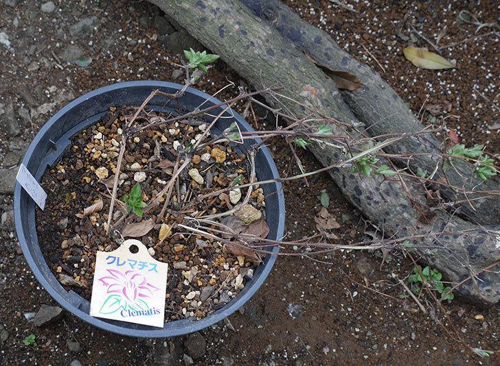 ダッチェス・オブ・エジンバラ2株を同じ鉢に植え換えた。2020年-3.jpg