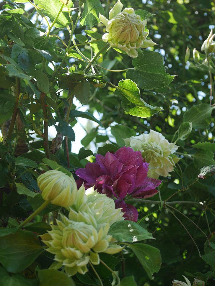 ダッチェス・オブ・エジンバラの花が咲いた。2020年-11.jpg