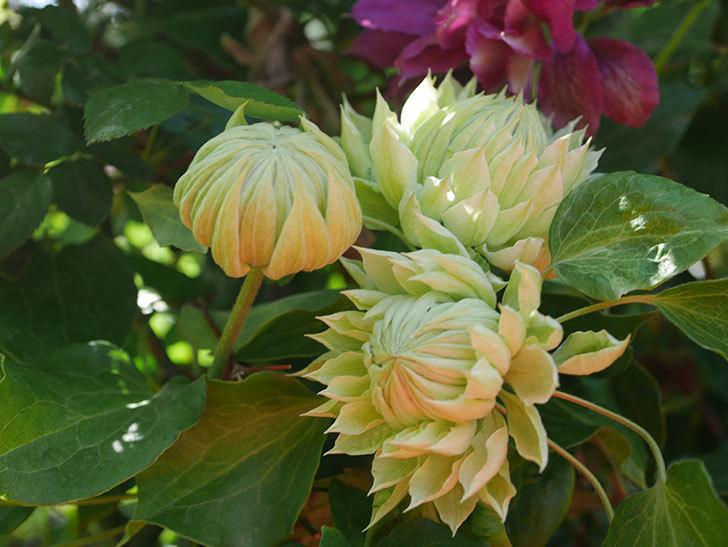 ダッチェス・オブ・エジンバラの花が咲いた。2020年-12.jpg