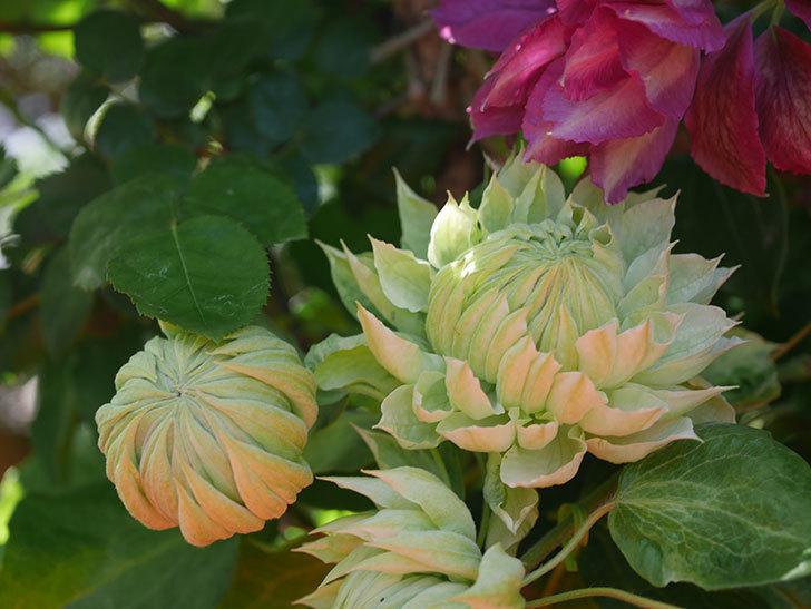 ダッチェス・オブ・エジンバラの花が咲いた。2020年-13.jpg