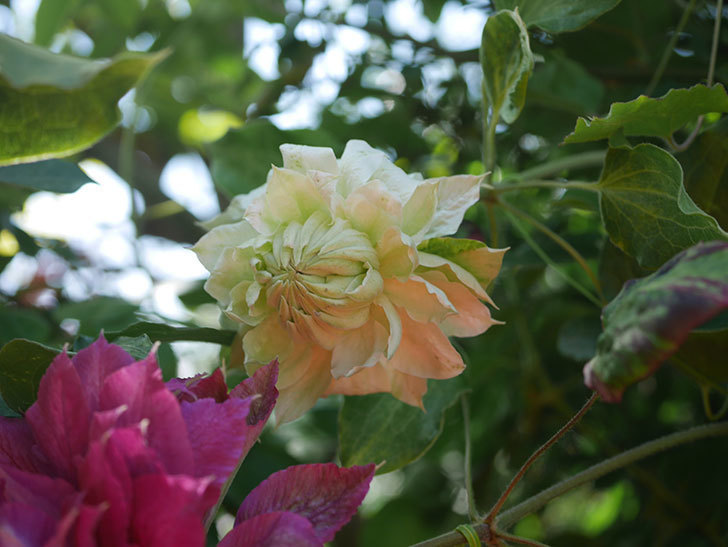 ダッチェス・オブ・エジンバラの花が咲いた。2020年-14.jpg