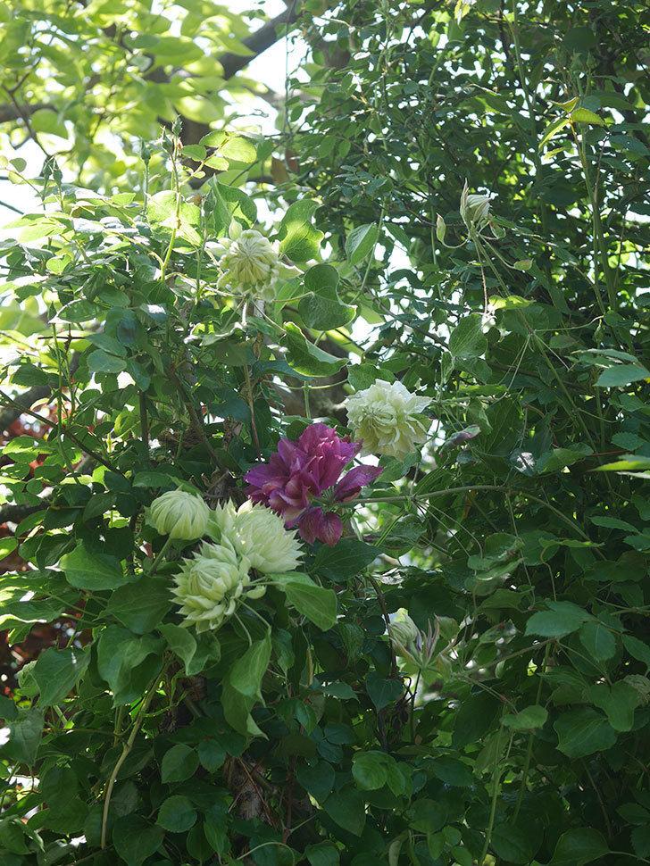 ダッチェス・オブ・エジンバラの花が咲いた。2020年-17.jpg