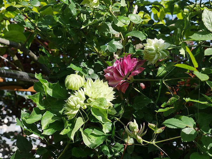 ダッチェス・オブ・エジンバラの花が咲いた。2020年-18.jpg