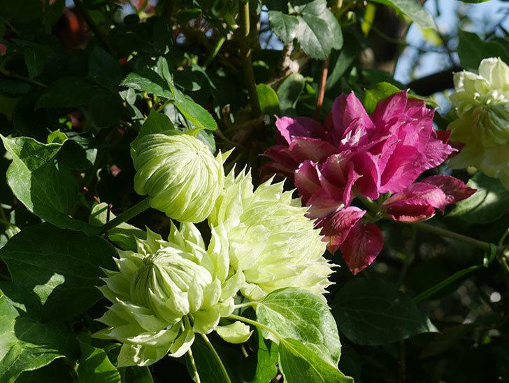 ダッチェス・オブ・エジンバラの花が咲いた。2020年-19.jpg