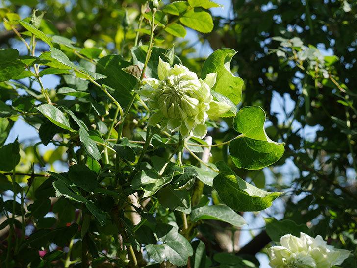 ダッチェス・オブ・エジンバラの花が咲いた。2020年-20.jpg