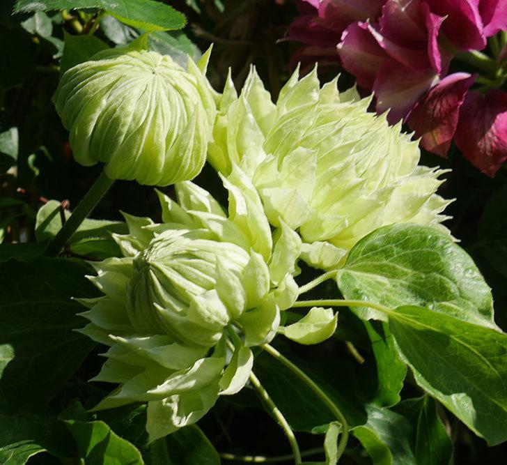 ダッチェス・オブ・エジンバラの花が咲いた。2020年-21.jpg