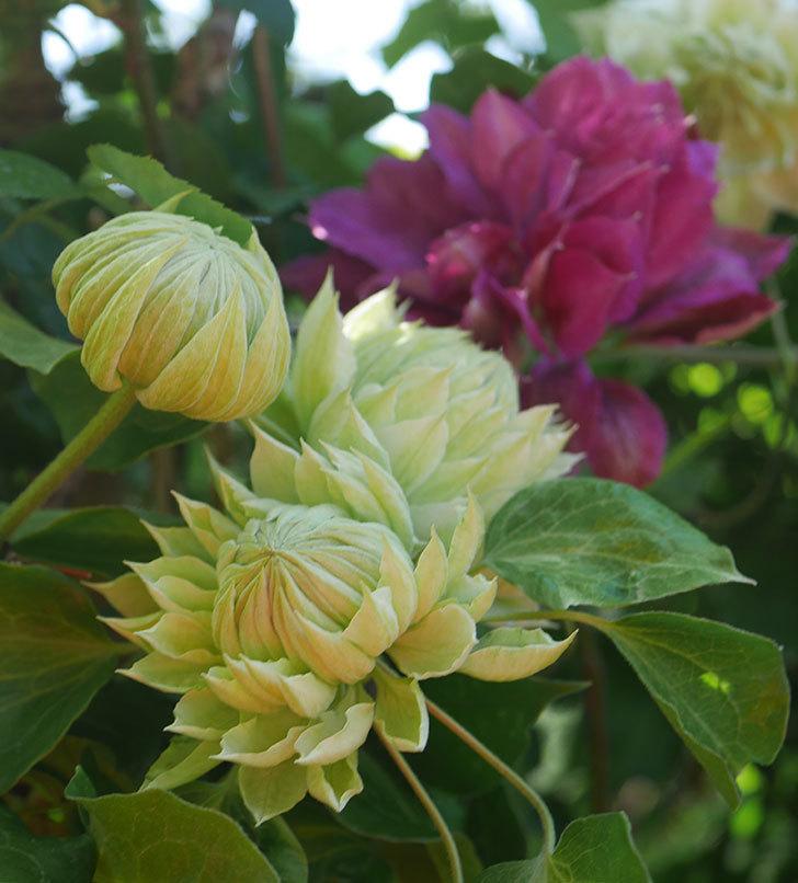ダッチェス・オブ・エジンバラの花が咲いた。2020年-4.jpg