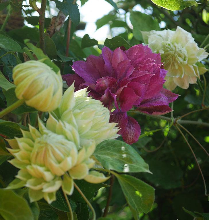 ダッチェス・オブ・エジンバラの花が咲いた。2020年-5.jpg