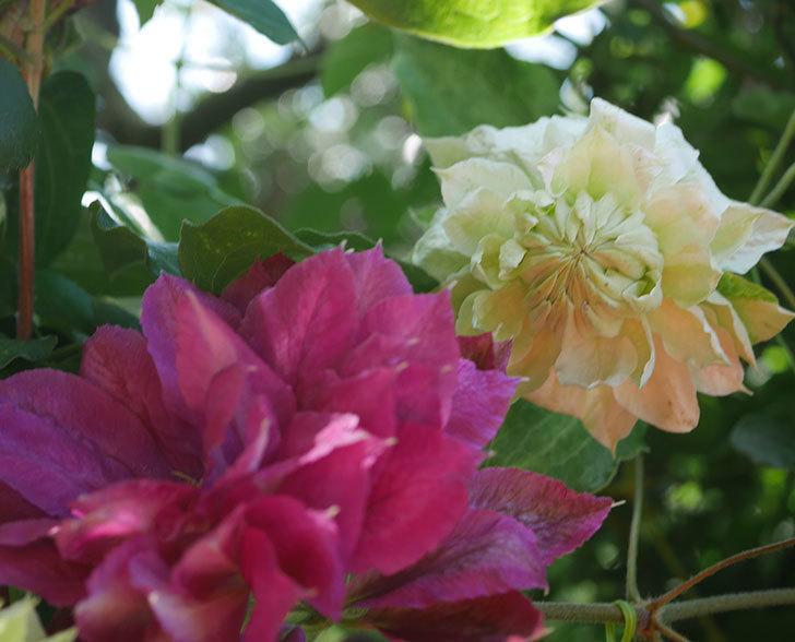 ダッチェス・オブ・エジンバラの花が咲いた。2020年-6.jpg
