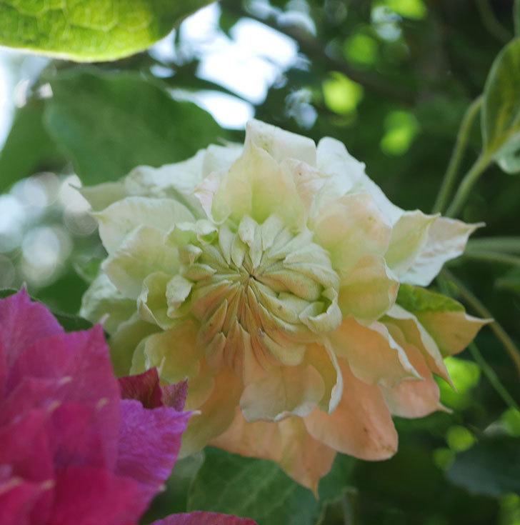 ダッチェス・オブ・エジンバラの花が咲いた。2020年-7.jpg