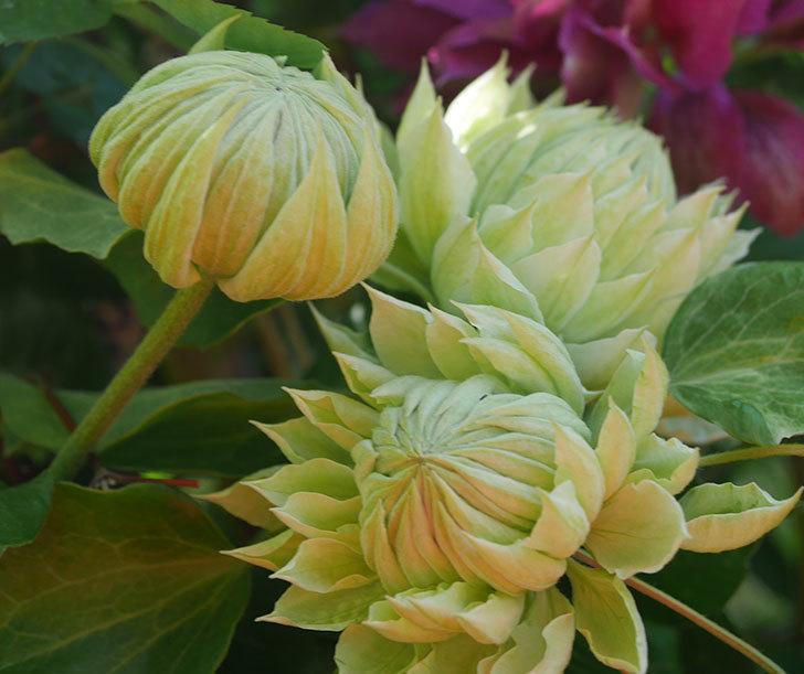 ダッチェス・オブ・エジンバラの花が咲いた。2020年-8.jpg