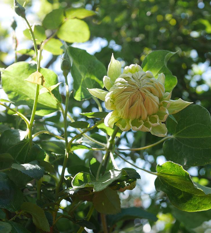 ダッチェス・オブ・エジンバラの花が咲いた。2020年-9.jpg