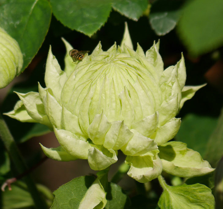 ダッチェス・オブ・エジンバラの花が咲きだした。2020年-3.jpg