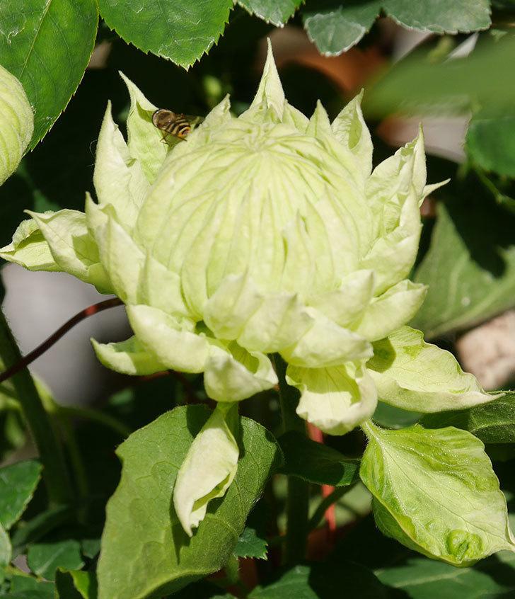 ダッチェス・オブ・エジンバラの花が咲きだした。2020年-5.jpg