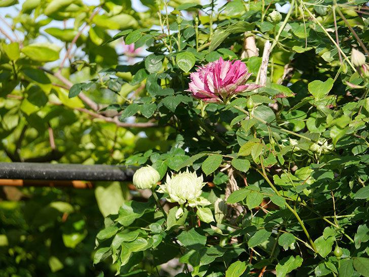ダッチェス・オブ・エジンバラの花が咲きだした。2020年-6.jpg