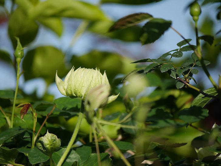 ダッチェス・オブ・エジンバラの花が咲きだした。2020年-8.jpg