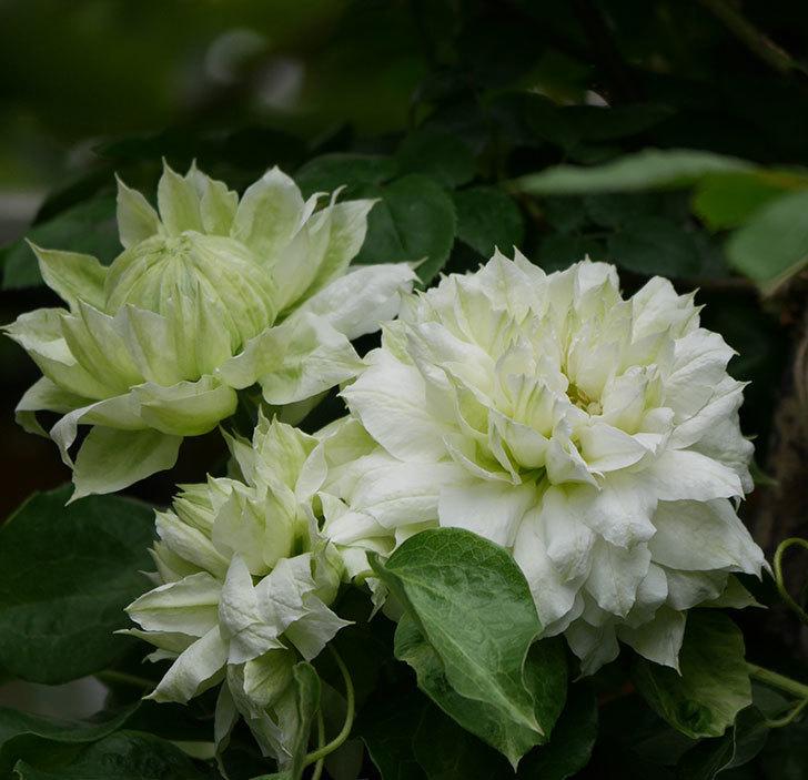ダッチェス・オブ・エジンバラの花が増えて来た。2020年-1.jpg