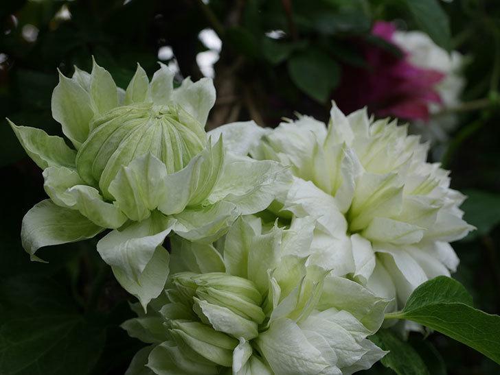 ダッチェス・オブ・エジンバラの花が増えて来た。2020年-14.jpg