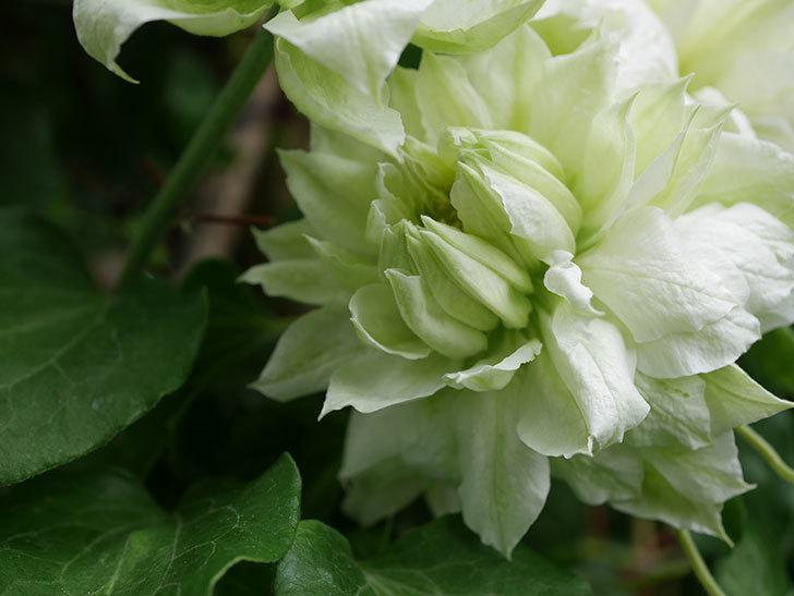ダッチェス・オブ・エジンバラの花が増えて来た。2020年-15.jpg