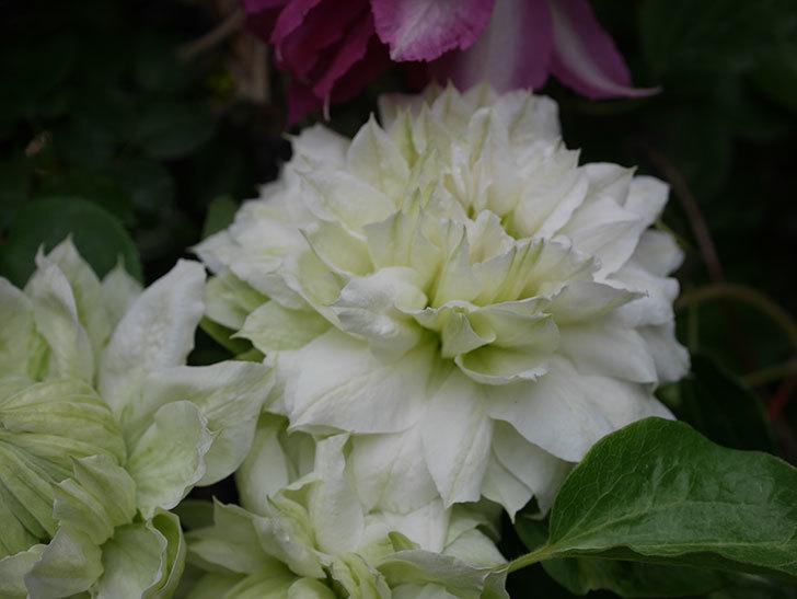 ダッチェス・オブ・エジンバラの花が増えて来た。2020年-17.jpg
