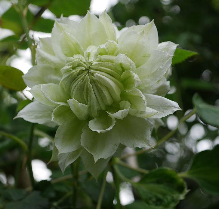 ダッチェス・オブ・エジンバラの花が増えて来た。2020年-18.jpg