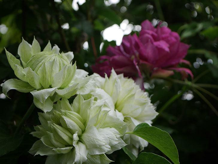 ダッチェス・オブ・エジンバラの花が増えて来た。2020年-19.jpg