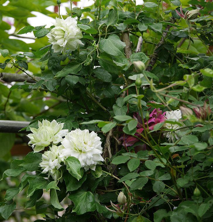 ダッチェス・オブ・エジンバラの花が増えて来た。2020年-2.jpg