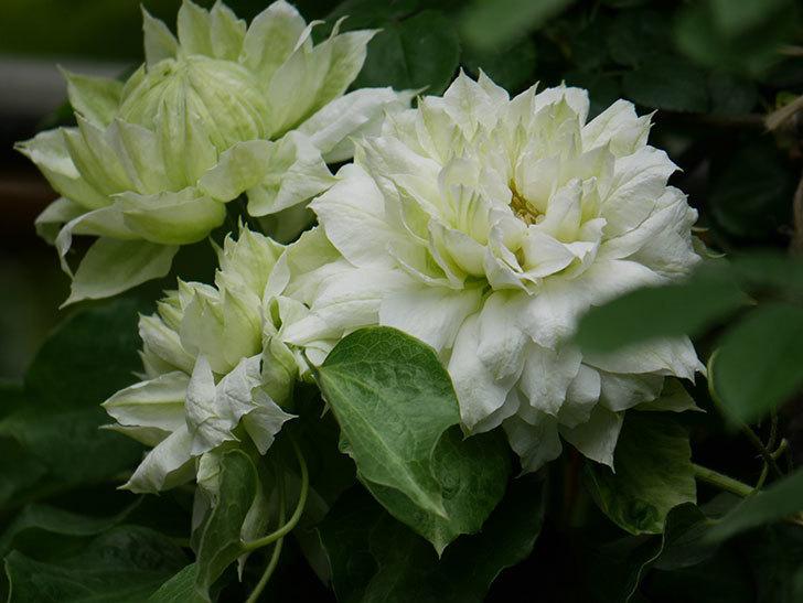 ダッチェス・オブ・エジンバラの花が増えて来た。2020年-4.jpg
