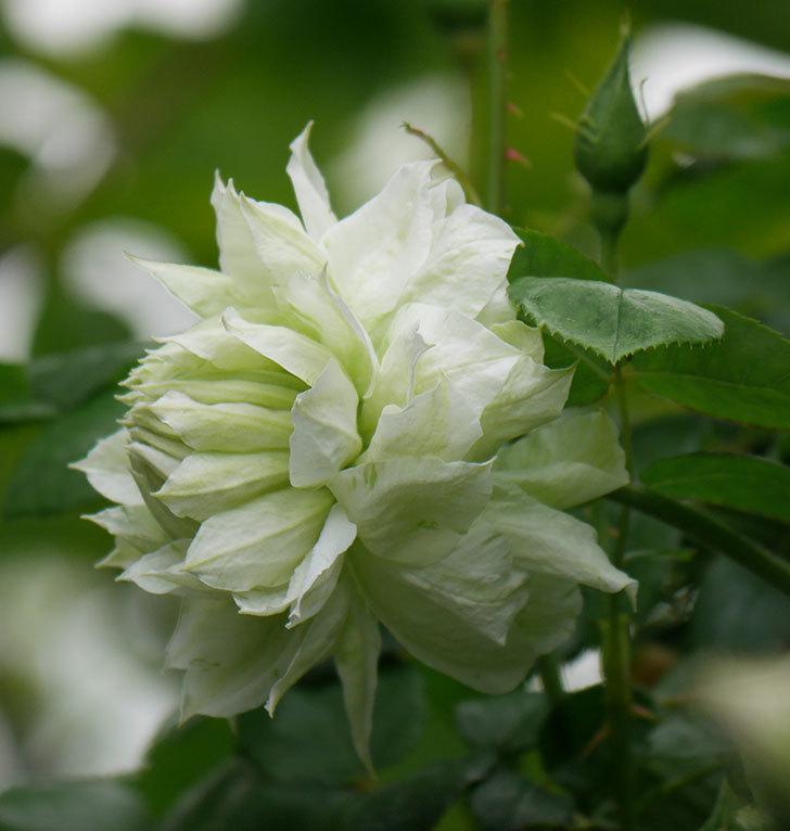 ダッチェス・オブ・エジンバラの花が増えて来た。2020年-5.jpg