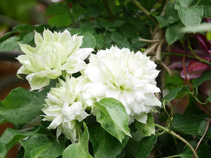 ダッチェス・オブ・エジンバラの花が増えて来た。2020年-6.jpg