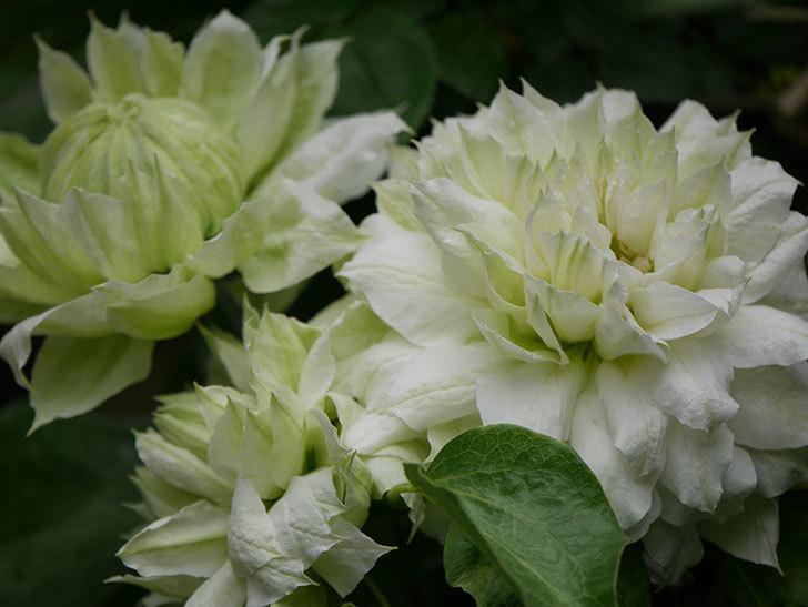 ダッチェス・オブ・エジンバラの花が増えて来た。2020年-7.jpg